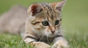 Perché il tuo gatto fa le fusa? Ecco alcuni delle possibili ragioni